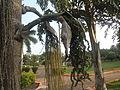 (Caryota urens) Palm tree at Shivaji Park 10.JPG