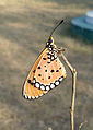 (Danaus chrysippus) plain tiger at Gandhinagar Park 02.JPG