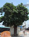(Morinda tinctoria) Indian mulberry tree.jpg