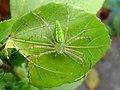 (Peucetia viridans) Green lynx spider spotted at Madhurawada.JPG