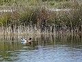Ànec blanc a l'estany del braç de la Vidala P1100401.jpg