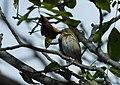 Šumska trepteljka (Anthus trivialis) Tree Pipitt1.jpg