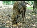 Żubr kaukaski (górski) - Bison bonasus caucasicus - Wisent (European bison) - Wisent (Europäische Bison) (3).JPG