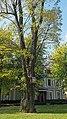 Вікове дерево акації, пр. Перемоги, 73-а.jpg