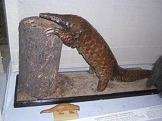 Long-tailed pangolin - Stuffed specimen