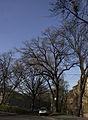 Дуб Фролкіна.jpg