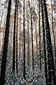 Золото листвы посреди снегов - panoramio.jpg