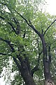 Крона дуба на улице Коминтерна.jpg