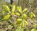 Скален дъб – нови листа 3.jpg