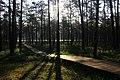 Сосновый лес у оз. Хотомля.jpg