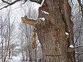 Старый дуб - panoramio (5).jpg