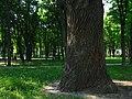 Ствол векового дуба на ул. Вышгородская.jpg