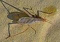 Трубачик обыкновенный - Oecanthus pellucens - Italian Tree Cricket - Weinhähnchen (29499572053).jpg