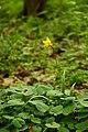 Тюльпан дібровний (Tulipa quercetorum) в заказнику Берестово.JPG