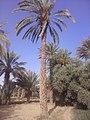 صورة لنخلة و أشجار زيتون في واحة كلميمة.jpg