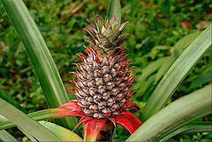 A pineapple on its parent plant
