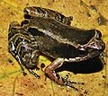 """Eleutherodactylus"" bilineatus IRDias 2014 (cropped).jpg"