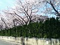 セレマ天神川の桜 - panoramio (1).jpg