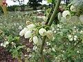 公爵藍莓 Vaccinium corymbosum Duke -荷蘭園藝展 Venlo Floriade, Holland- (9227077537).jpg