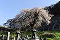 善光寺の桜 - panoramio.jpg