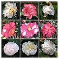 山茶花 Camellia japonica cultivars -香港動植物公園 Hong Kong Botanical Garden- (9240224994).jpg