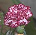 康乃馨(香石竹) Dianthus Forest Treasure -香港花展 Hong Kong Flower Show- (9207617606).jpg