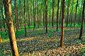 桉树林 - panoramio.jpg