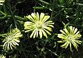 沙座蘭屬 Delosperma rileyi -比利時國家植物園 Belgium National Botanic Garden- (9213295817).jpg