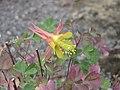 美雅耬斗 Aquilegia elegantula -倫敦植物園 Kew Gardens, London- (9213321433).jpg
