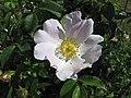 薔薇屬 Rosa jundzillii -波蘭華沙 Powsin PAN Botanical Garden, Warsaw- (36457205242).jpg