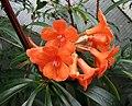 越桔杜鵑類 Rhododendron stenophyllum -新加坡濱海灣花園 Gardens by the Bay, Singapore- (24792695330).jpg