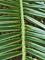 軟葉刺葵 Phoenix roebelenii 20201013101916 06.jpg