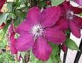 鐵線蓮 Clematis 'Westerplatte' -上海國際花展 Shanghai International Flower Show- (17324930876).jpg