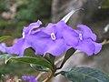 鴛鴦茉莉 Brunfelsia acuminata -香港禮賓府 Hong Kong Government House- (9198183781).jpg