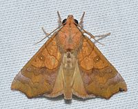 - 8545 – Anomis erosa – Yellow Scallop Moth (23082723511).jpg
