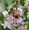 . Eristalis sp. - Flickr - gailhampshire.jpg
