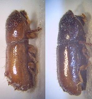 Pityogenes chalcographus, Weibchen (rechts) und Männchen (links)
