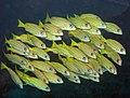 0712GBR 2 bluelined snappers M (3745386655).jpg