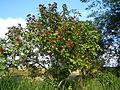 09778jfLandscapes Bixa orellana Maronquillo San Rafael Bulacanfvf 10.JPG