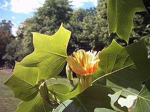 tulpenbaum liriodendron tulipifera blute
