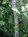 17-Year Periodical Cicada - Brood XIII (Magicicada sp.) - Flickr - Jay Sturner.jpg