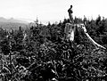 1953. 8 year old spruce plantation near Tillamook Head. Spruce weevil beginning to cause damage. J. Trappe is on stump of spruce cut about 1942. Cannon Beach, Oregon. (26245529988).jpg