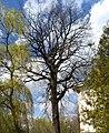 200-річний дуб Паліцина О.О.jpg