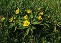 2007-04-12Anemone ranunculoides01.jpg