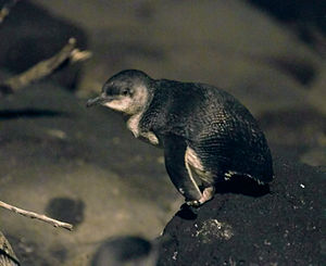 Little penguin - Little penguin at night at the  St Kilda breakwater
