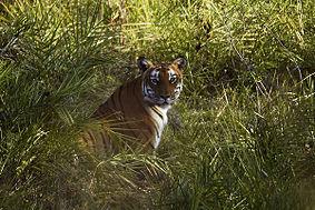 बांदीपुर में बाघ