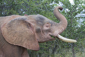 White elephant (animal) - An albino elephant from Kruger National Park, South Africa
