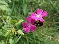 20120624Dianthus carthusianorum4.jpg