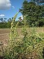 20120902Amaranthus retroflexus1.jpg