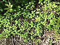 2013-05-04 16 17 34 Impatiens capensis and Quercus palustris seedlings in Ewing New Jersey.jpg